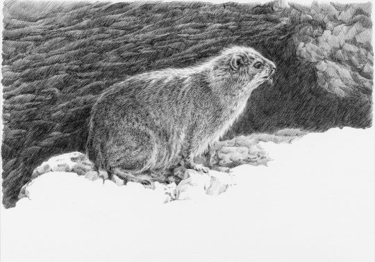Print: Dassie Rat | Belgunique
