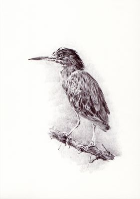 Print: Green Heron | Belgunique