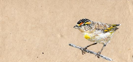 Print: Red-browed Pardalote | Belgunique